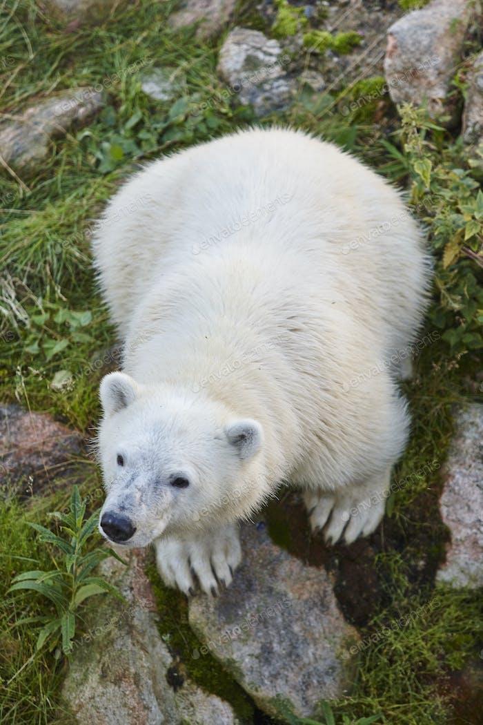Polar bear cub in the wilderness. Wildlife animal background. Vertical