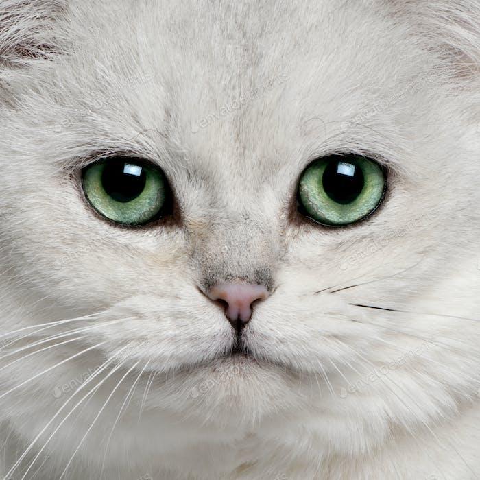 British Shorthair (5 years old)