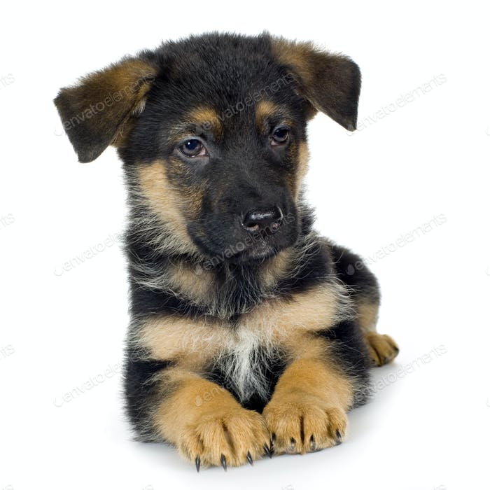german shepherd (7 weeks)/ alsatian, police dog