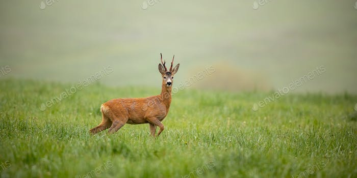 Panoramic wide composition with roe deer, capreolus capreolus, buck in summer