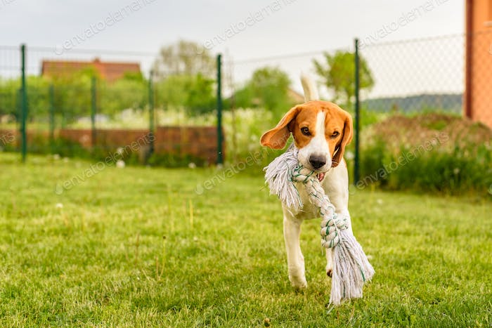 Pet dog Beagle in a garden having fun outdoors