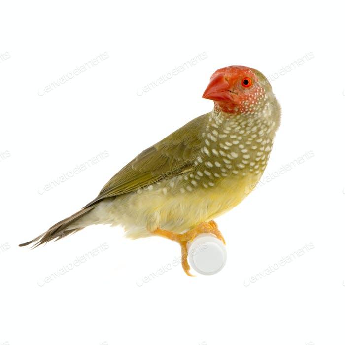 Star Finch - Neochmia ruficauda