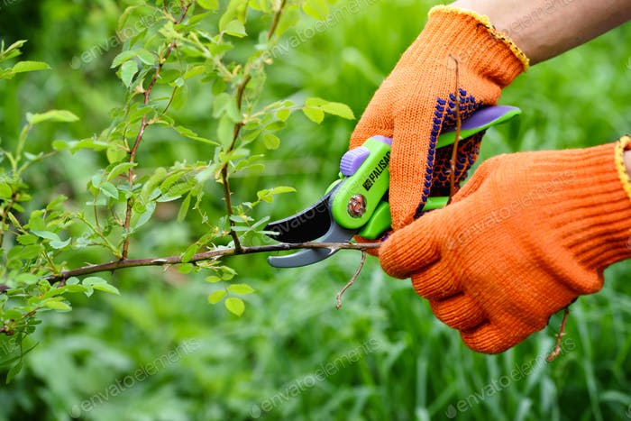 Spring pruning roses in the garden, gardener's hands with secate