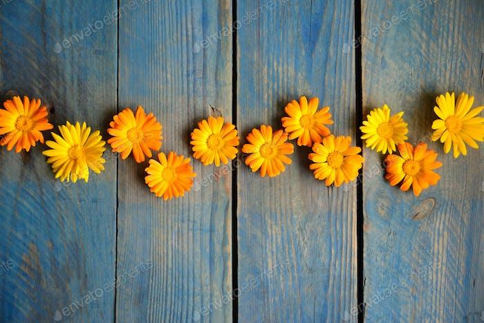 Blüten von Calendula