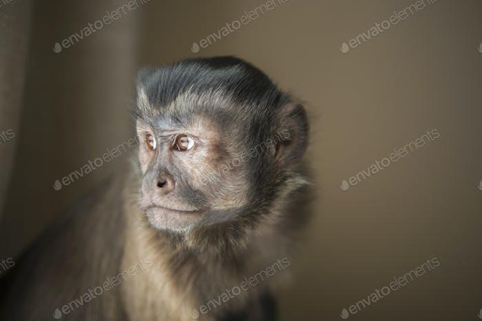 A capuchin monkey seated, head and shoulders.