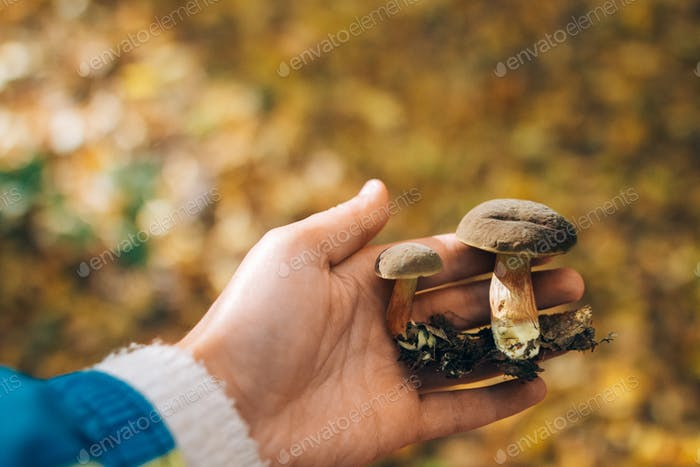 Hand holding edible mushrooms in autumn woods