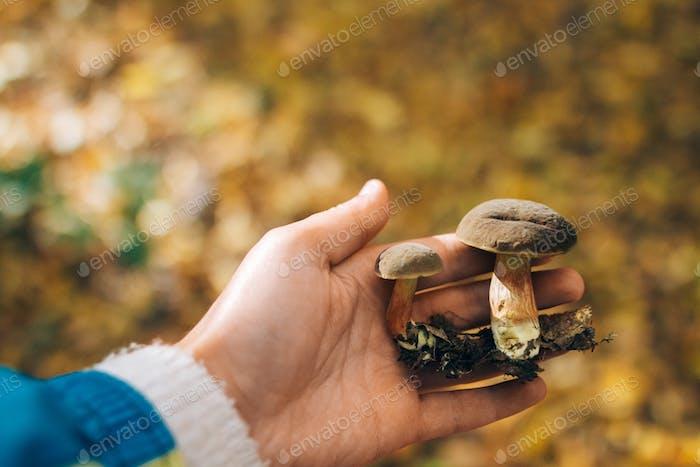 Hand hält essbare Pilze im Herbstwald