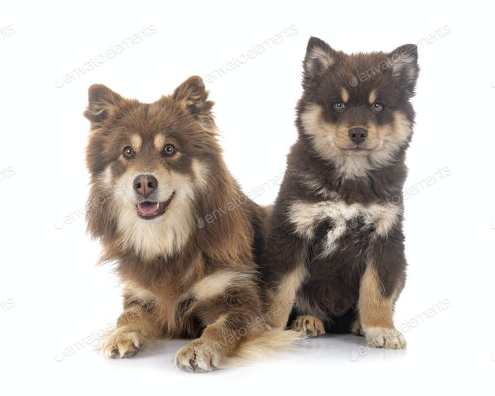 puppy and adult Finnish Lapphund