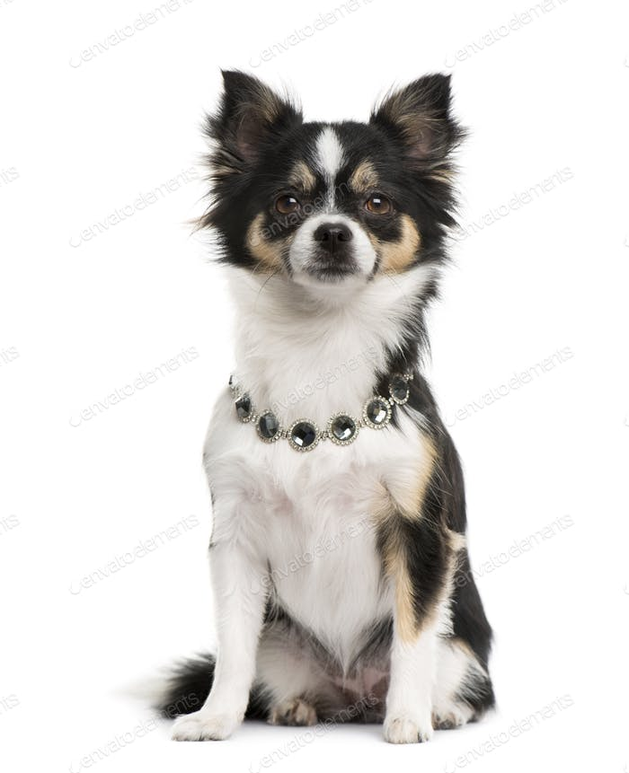 Chihuahua wearing a diamond collar