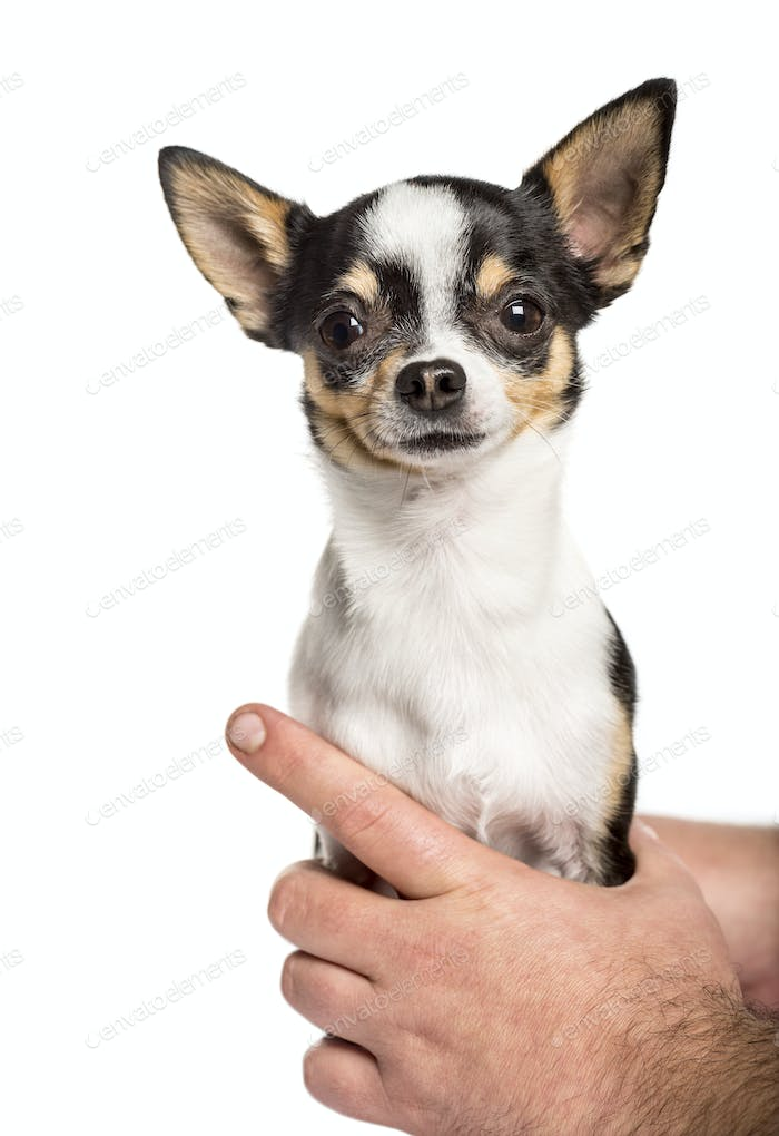 close-up on human hands holding a chihuahua,  isolated on white
