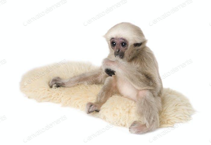 Joven Gibbon Pileated, 4 meses de edad, Hylobates Pileatus, sobre alfombra delante de Fondo blanco