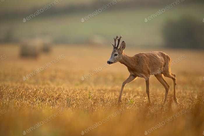 Wild roe deer walking on a stubble in agricultural environment