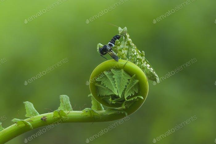 Praying Mantis Eats a Fly on Curl Leaf