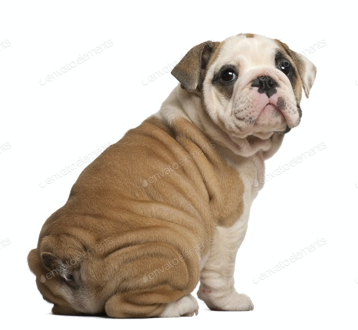 English Bulldog puppy, Sitting, looking back, 2 months old