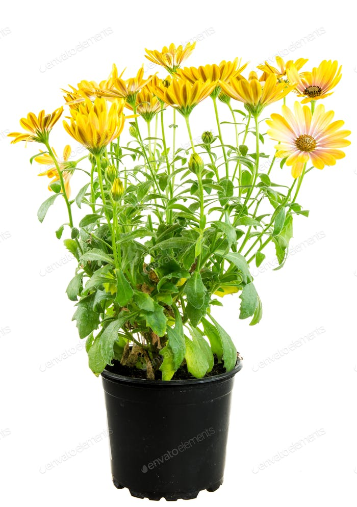 Isolated potted yellow Osteospermum flower