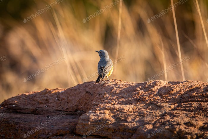 Cape rock thrush standing on a termite mount.