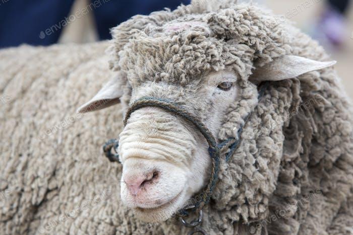 Porträt von weißem Lamm auf dem Otavalo Tiermarkt, Ecuador