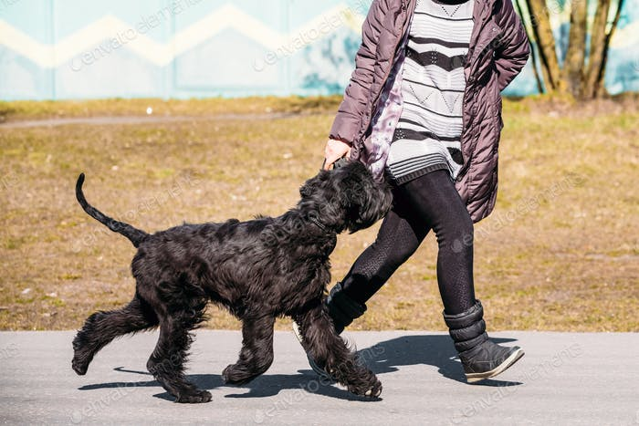 Black Giant Schnauzer Or Riesenschnauzer Dog Runs Outdoor