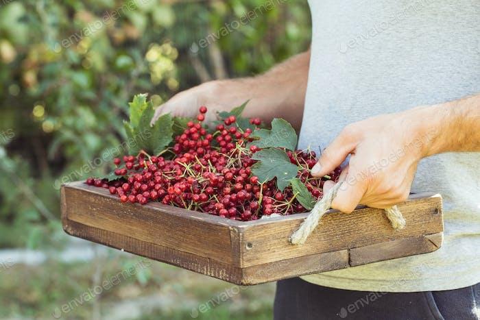 Farmer holds viburnum berries