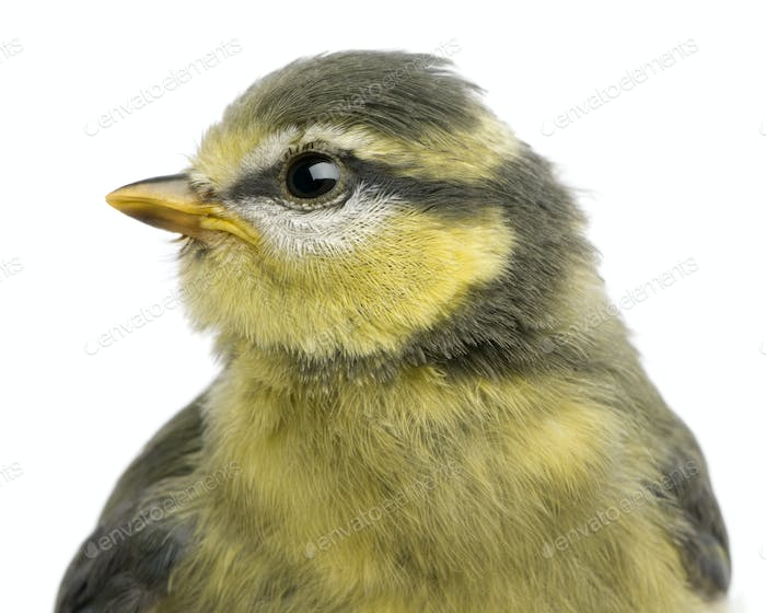 Blue Tit, 23 days old, close up against white background
