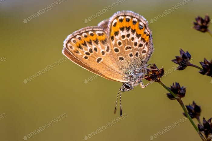 Female silver studded blue butterfly resting in evening light