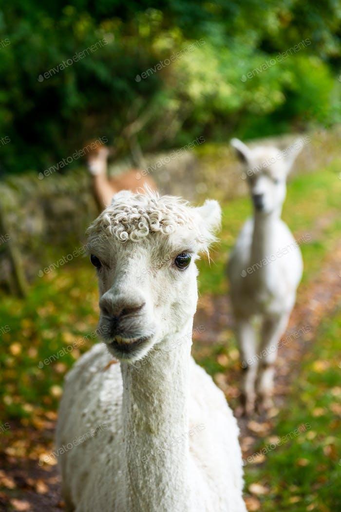 lamas in ein ländliche szene