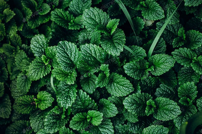 Green Mint Plant Grow Background Pattern Natural