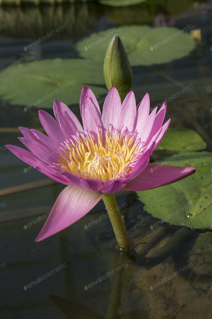 Beautiful pink Indian lotus flower