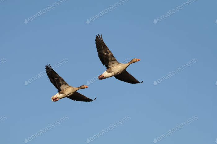 Two geese flying in blue sky