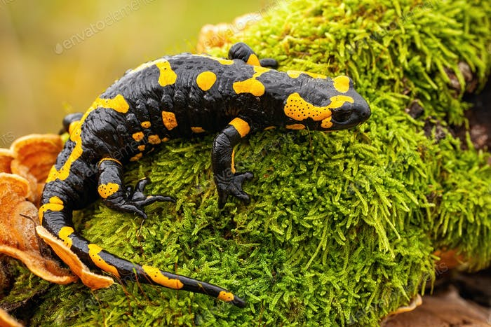 Top view of a whole fire salamander on moss and fungus