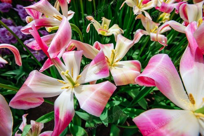 Schöner Blumenstrauß von Tulpen.