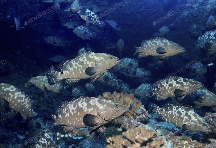 Eine große Schule von Zackenfisch laichen in einem Pass zwischen Inseln, Französisch-Polynesien.