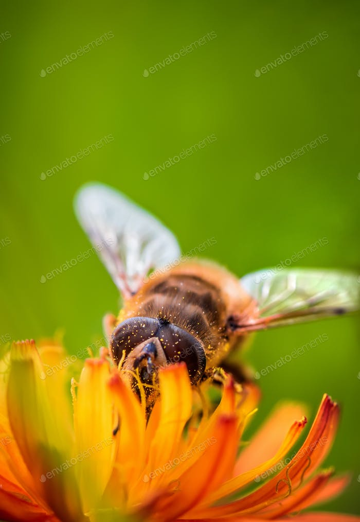 Bee collects nectar from flower crepis alpina