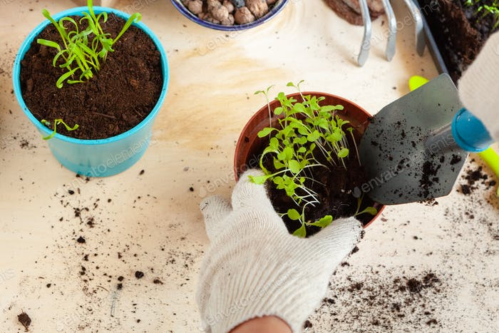 Close up of hands transplanting a plant into a new pot