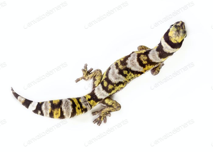 top gecko