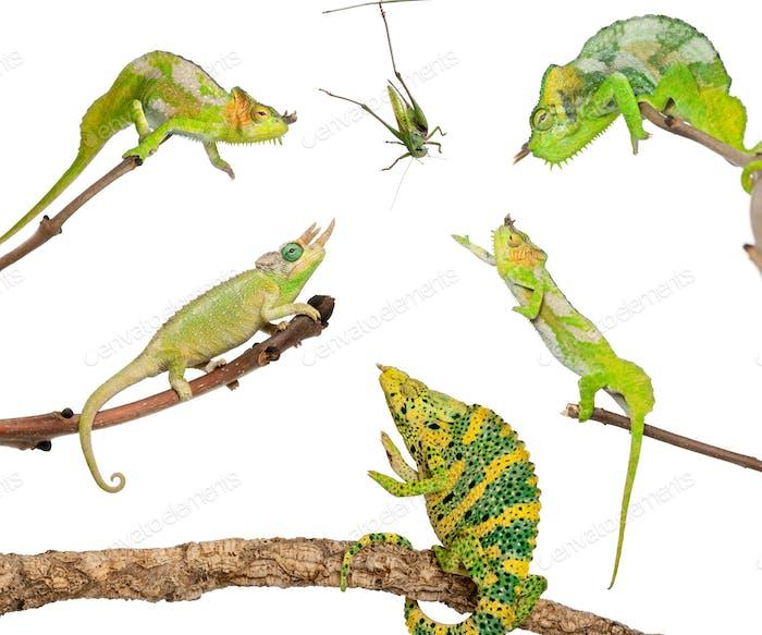 Chameleons reaching for grasshopper in front of white background