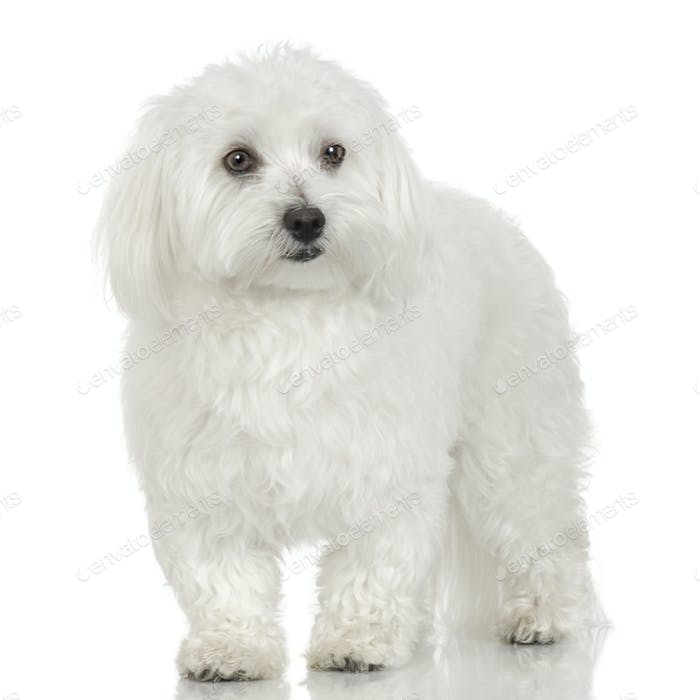 maltese dog (16 months)