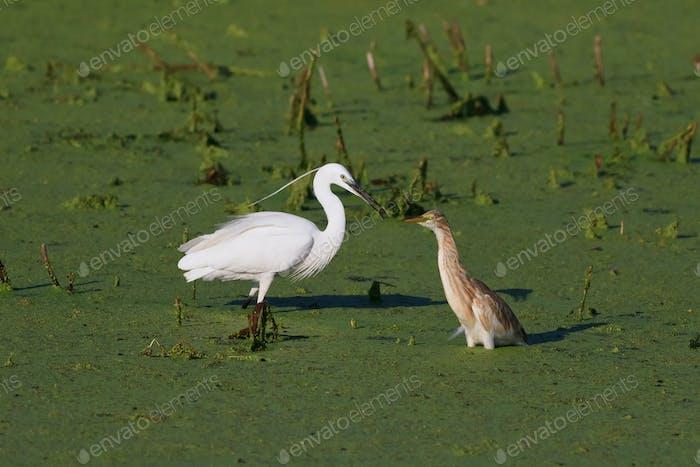 little egret and squacco heron