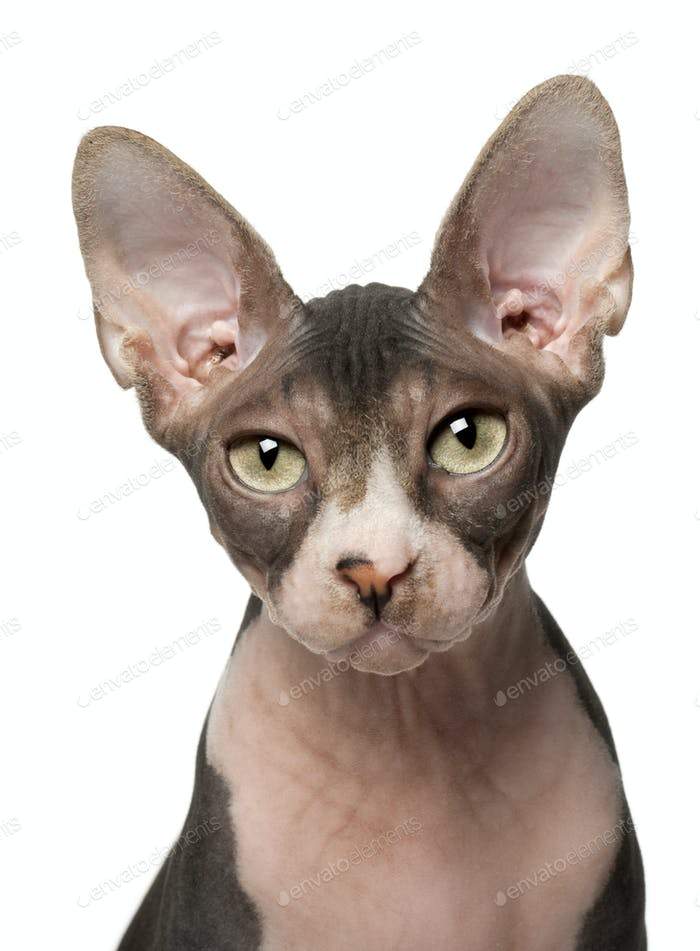 Sphynx cat, 7 months old, in front of white background