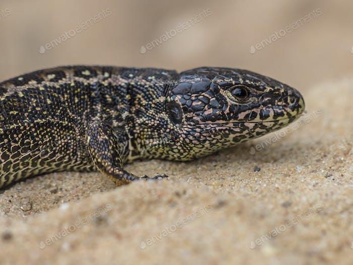 Wild Sand Lizard Portrait