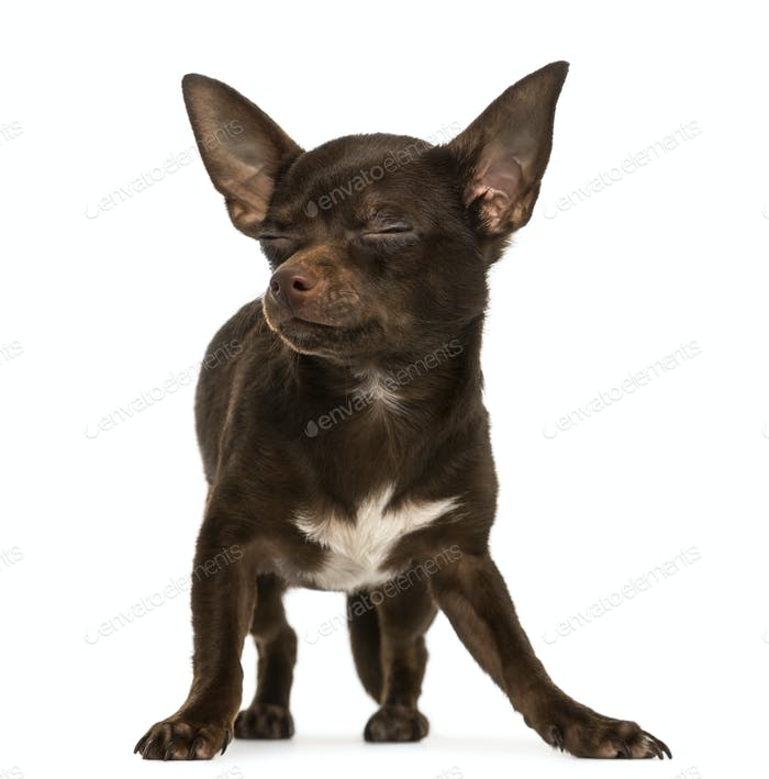 Chihuahua standing, eyes closed, 9 months old, isolated on white