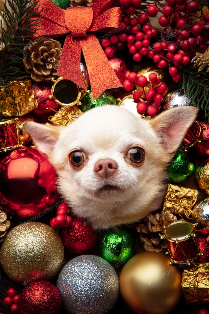 Lustiger Chihuahua-Begleithund isoliert in Weihnachts- und Neujahrsspielzeug und Dekoration