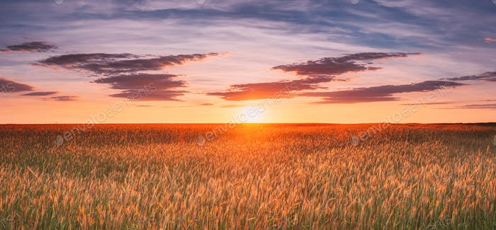 Landscape Of Wheat Field Under Scenic Summer Dramatic Sky In Sunset Dawn Sunrise. Skyline. Panorama