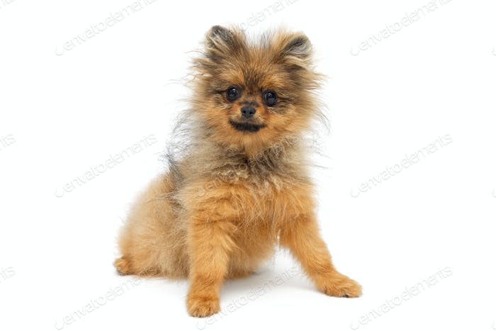 Funny  puppy of breed a Pomeranian Spitz