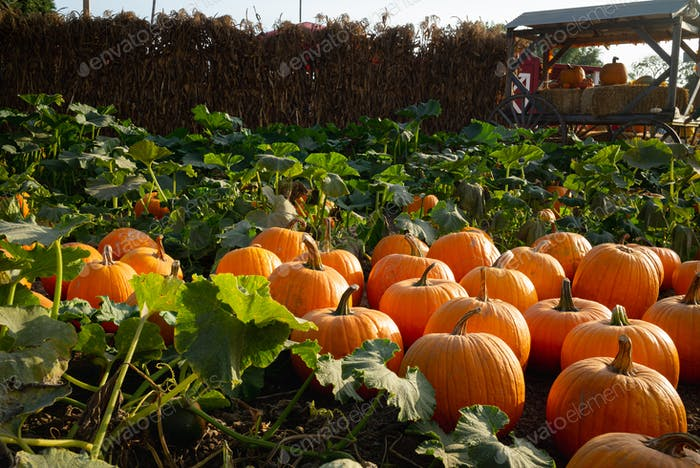 Sunny natural pumpkin patch in Autumn