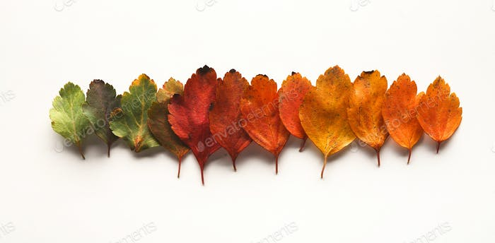 Fall oak leaves pattern isolated on white background
