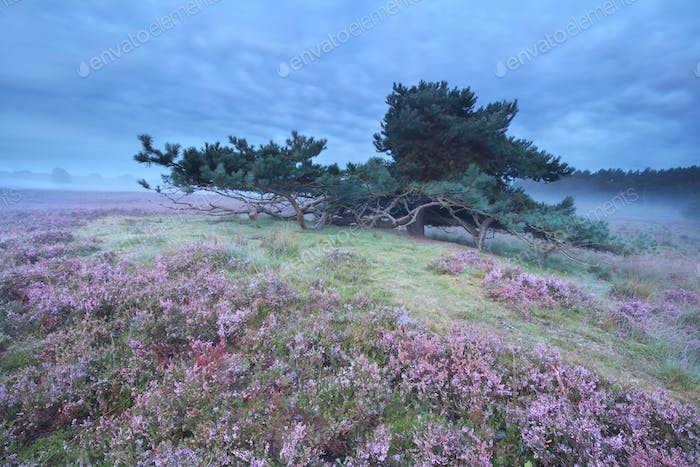 pine tree surrounded with pink heather
