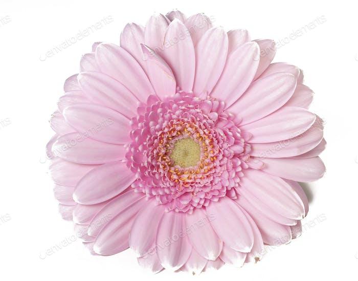 Rosa Gerber Blume