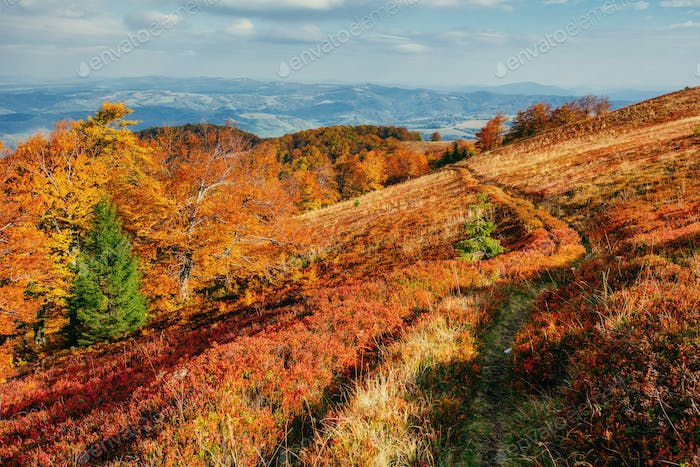 Autumn trail leading into the mountains and evergreen tree. Gold