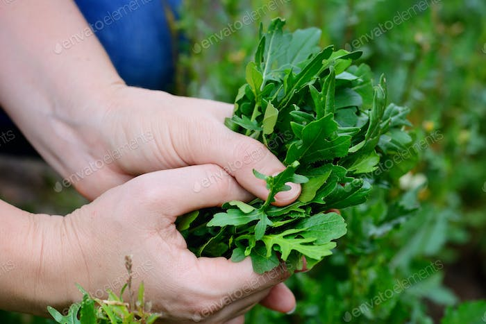 Rocket salad in farmer hands. Organic vegetables. Healthy food.
